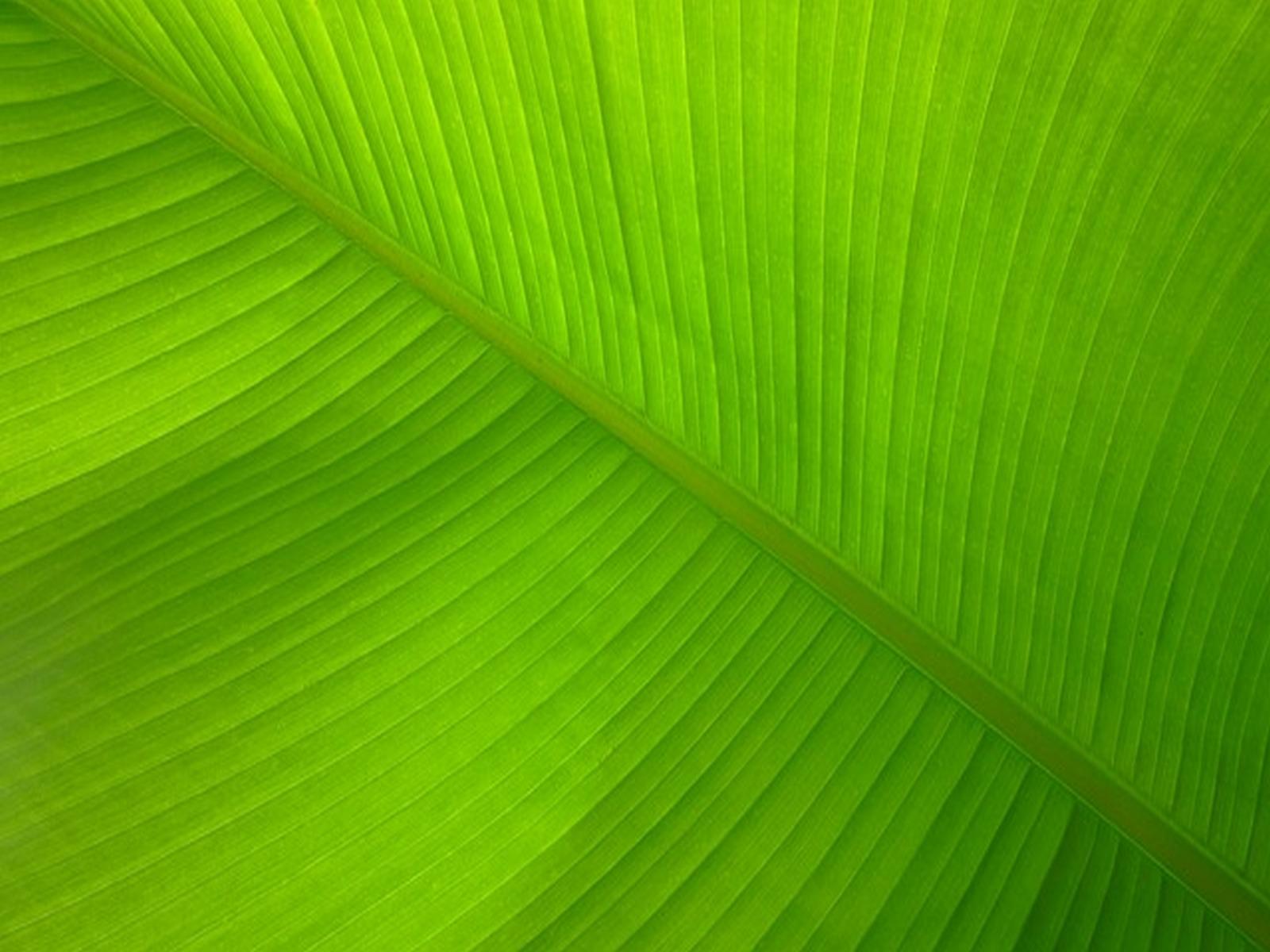 powerpoint background banana leaf wallpaper