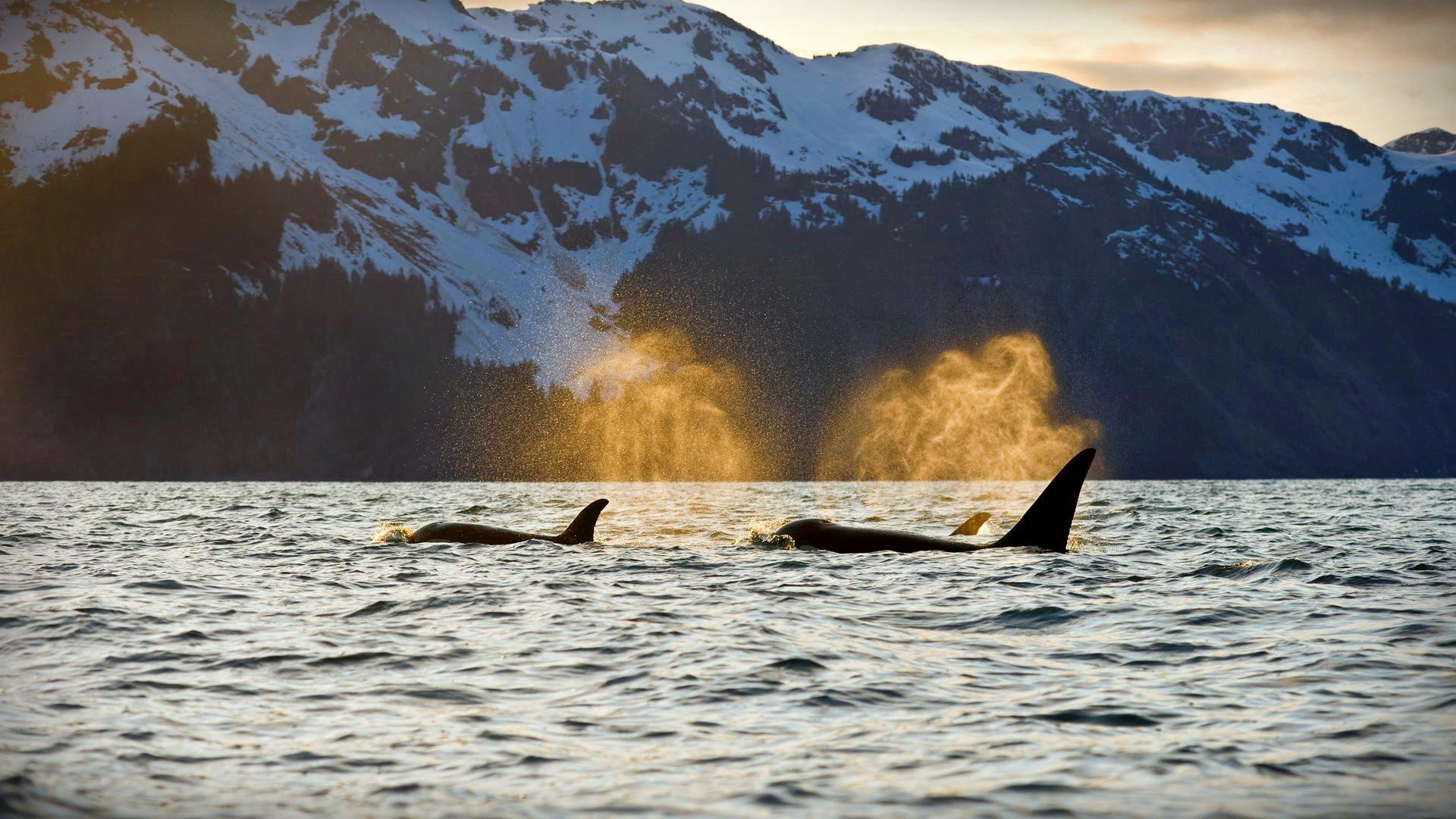 Orcas Kenai Fjords - Wallect