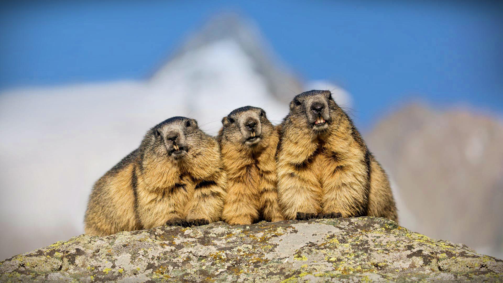 Grossglockner Marmot